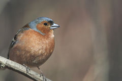 Chaffinch na filial Fotos de Stock Royalty Free