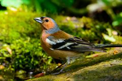 Chaffinch on nature background. Male Chaffinch on nature background Royalty Free Stock Images
