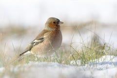 Chaffinch nella neve fotografia stock