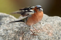 Chaffinch in nice pose - portrait Royalty Free Stock Photo