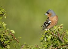 Chaffinch no Hawthorn Foto de Stock Royalty Free