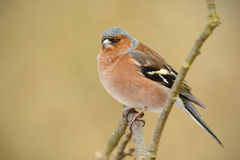 Chaffinch ona branch Royalty Free Stock Images