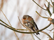 Chaffinch ou oiseau chaffy Image stock