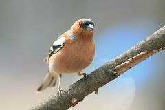 Chaffinch in the Park on a branch Stock Photo
