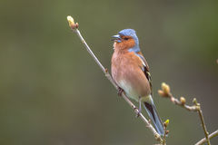 Chaffinch perched on a branch Royalty Free Stock Photography