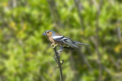 Chaffinch Perched on a Branch Royalty Free Stock Photo