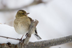 Chaffinch perched on a branch during winter, Vosges, France Stock Photos