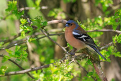Chaffinch perched in a tree close-up. Chaffinch perched in a hawthorn tree close-up, in spring time Royalty Free Stock Photo