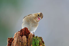Chaffinch Royalty Free Stock Image