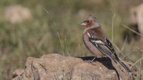 Chaffinch on Piece of Stone. Chaffinch, Fringilla coelebs, is perching on a piece of rock stock photos
