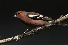 Chaffinch portrait Royalty Free Stock Images