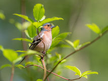Chaffinch portrait Stock Images