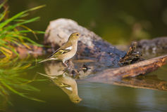 Chaffinch reflection at pool Royalty Free Stock Photo
