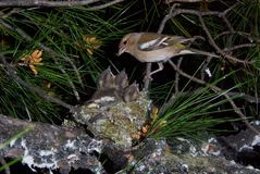 Chaffinch's Nest royalty free stock photography