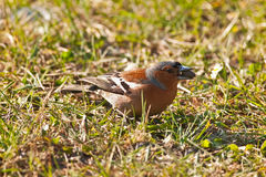 Chaffinch with seed in its beak on a background of grass Stock Photo