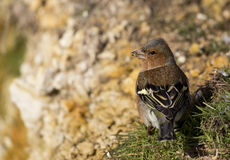 Chaffinch Showing Back Details. An image of chaffinch showing rear / back details Stock Photo