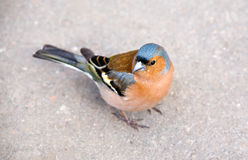 Chaffinch on sidewalk Royalty Free Stock Photo