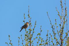 Chaffinch singing Stock Photography