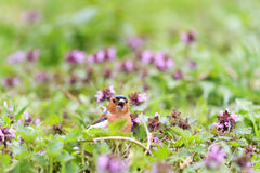Chaffinch singing the song of pink flowers Stock Image