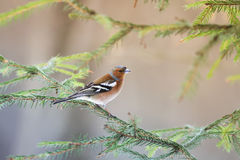 Chaffinch sings on the branches. Of the Christmas tree royalty free stock image