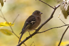 Chaffinch sitting on a branch in autumn forest on a afternoon Stock Photo