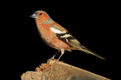 Chaffinch sitting on a branch  an isolated black background. Chaffinch sitting on a branch on an isolated black background,songbird, forest bird Stock Photography