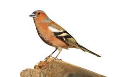 Chaffinch sitting on a branch  an  white background. Chaffinch sitting on a branch on an  white background,songbird, forest bird Stock Photography