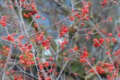 Chaffinch sitting on branches Stock Image