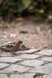 Chaffinch sitting on Cobblestone and Searching for Food, Germany Stock Photography