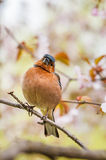 Chaffinch sitting on the sakura tree Stock Photography