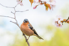 Chaffinch sitting on the sakura tree Royalty Free Stock Images