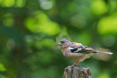 Chaffinch. Is sitting on a tree Royalty Free Stock Photos