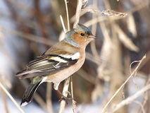 Chaffinch on snow, Fringilla coelebs Royalty Free Stock Photography