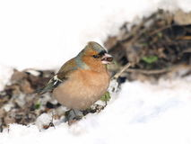 Chaffinch on snow, Fringilla coelebs Stock Photography