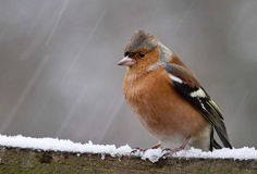 Chaffinch in the snow. Single Chaffinch perched on a snow covered fence. Bird appears totally fed up with the weather. When will this weather end? Cold feet stock photo