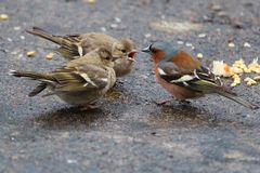The Chaffinch. Is a species of small passerines, partially migratory, widespread, the family of finches. This is the most common and most widespread of the Stock Photography