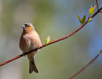 The chaffinch in the spring Stock Photo