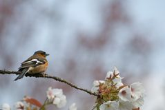 Chaffinch In Spring. Chaffinch sitting on a branch of a cherry blossom tree in spring stock photo