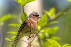 Chaffinch in spring Stock Images