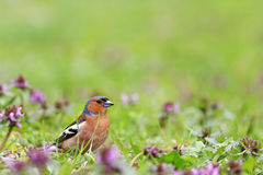 Chaffinch standing in front of pink flowers. Singing birds, spring singing, beautiful picture Royalty Free Stock Photography