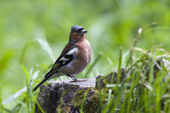 Chaffinch on stump Stock Image