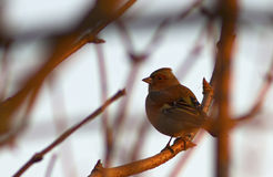 Chaffinch at sunset Royalty Free Stock Image
