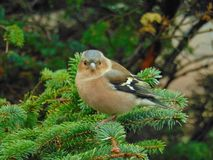 Chaffinch in a tree. In Scotland royalty free stock images