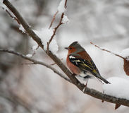 Chaffinch in tree. Small colorful bird perched on a branch Stock Image