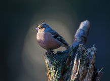 Chaffinch on a tree Stock Photos