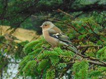 Chaffinch in a tree. In Scotland royalty free stock photos