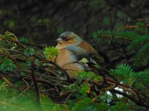Chaffinch in a tree. In Scotland stock photography