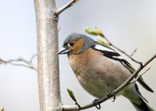 Chaffinch on tree close up Royalty Free Stock Images