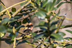 Chaffinch in a tree. Fringilla coelebs hiding in a tree Stock Photo
