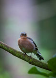 Chaffinch in tree. Chaffinch perched in a tree Royalty Free Stock Image